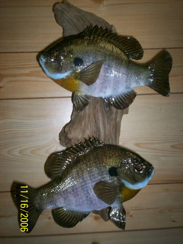 Fish for Fish taxidermy prices